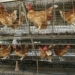 FAO advierte sobre nueva amenaza de gripe aviar