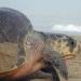 Se registra en Oaxaca la mayor anidación de tortugas golfinas del mundo