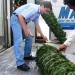 Profepa supervisa árboles de navidad importados