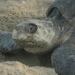 Conservación de tortugas marina en recuperación