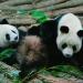 Intentan aumentar población mundial de pandas