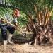 Aporta Chiapas 79% en producción nacional de palma de aceite