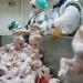 Sagarpa activa alerta contra influenza aviar