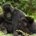 Gorilas...en peligro de extinción