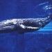 Protección a las ballenas grises