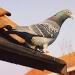 Argentina...vendían marihuana con palomas mensajeras