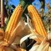 México...cierra año con producción récord de maíz y frijol