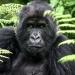 Gorilas de Ruanda...una especie en peligro de extinción