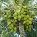 IPN... desarrollan producto contra obesidad a base de coco