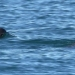 Vaquita Marina... riqueza natural endémica de nuestro país