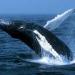Profepa...muere ballena jorobada en playas de Ensenada