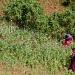 ONU...políticas contra drogas deben respetar derechos humanos