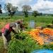 FAO...Plan de Seguridad Alimentaria empieza a dar resultados