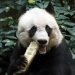 Jia Jia...murió en Hong Kong el oso panda más viejo del mundo