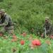 PGR..destruyó plantío de amapola con un total de 68 mil plantas