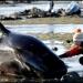 416 Ballenas mueren varadas en Isla del Sur Nueva Zelanda