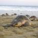 Tortugas Golfinas arriban a las playas La Escobilla y Morro Ayuta