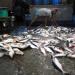 Pesca ilegal se estima en 26 millones de toneladas anuales
