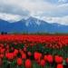 14 de febrero se tendrá garantizado el abasto de rosas mexicanas