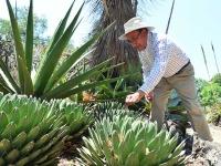 Descubren expertos de la UNAM cuatro nuevas especies de agave